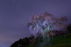 夜の又兵衛桜