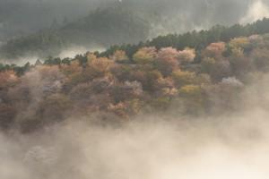 2015吉野桜中千本