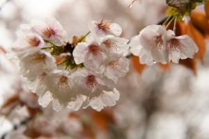 吉野上千本桜