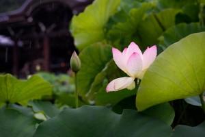 三室戸寺の睡蓮
